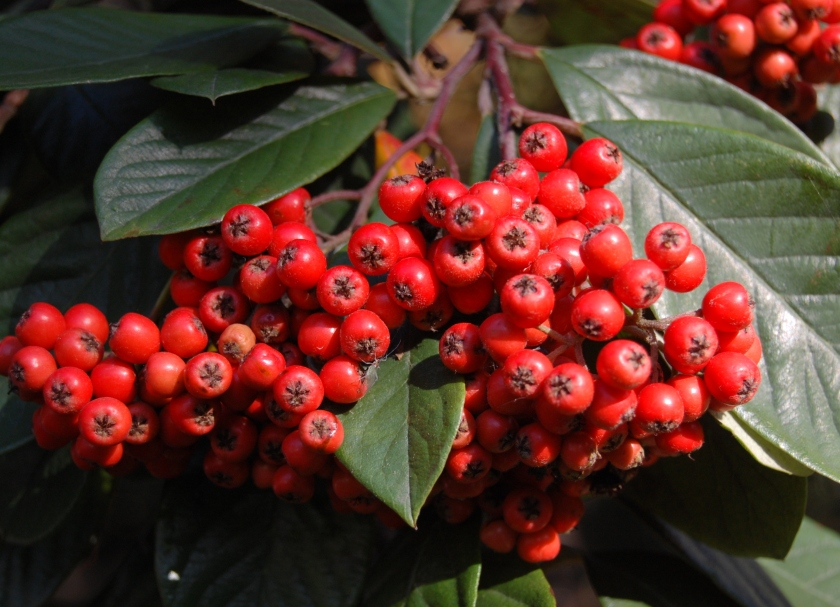 26 Cotoneaster